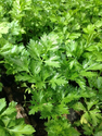 Organic Green Vegetable