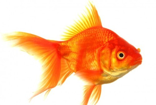 Gold Fishes Photos Ocean Fish - Go...