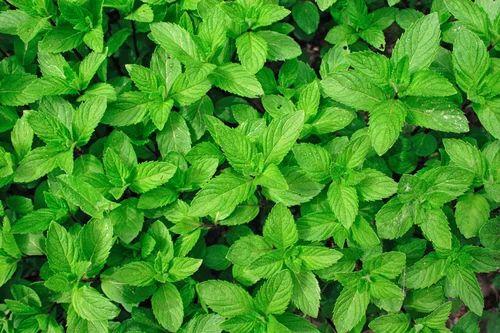 Image result for mint leaves