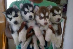 Dog Breeding Service