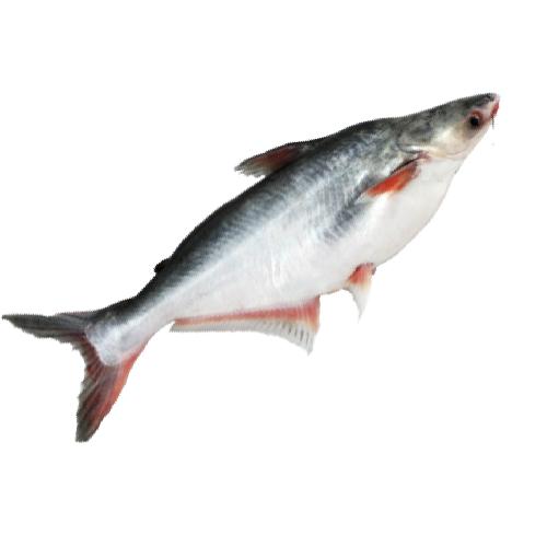 Pangasius Fish - Wholesale Price & Mandi Rate for Pangasius Fish