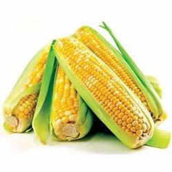 Green American Sweet Corn