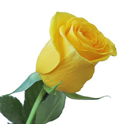 yellow rose wholesaler wholesale dealers in india