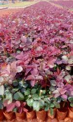 Top, Secret Dutch, Rose Plants