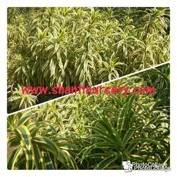 Son Of India Plant