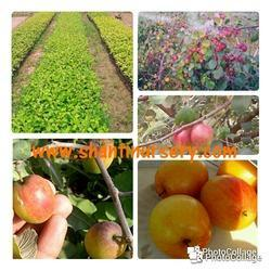 Apple Ber Fruit Plant Red