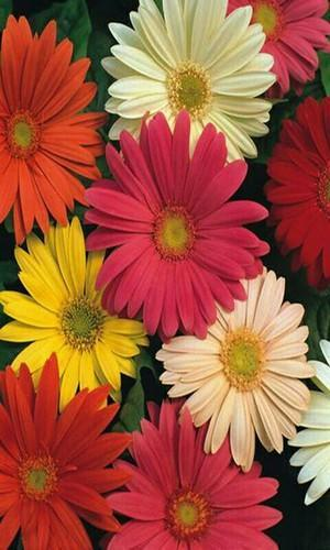 Patil Polyhouse Nipani Manufacturer Of Patil Gerbera Flowers And Patil Gerbera Flower