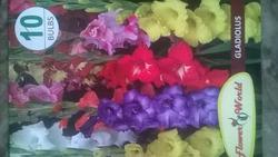Gladiolus Multicolour Bulb