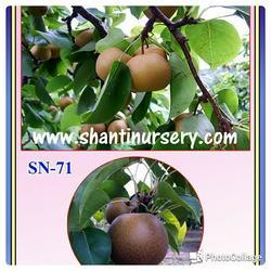Pear Fruit Plant