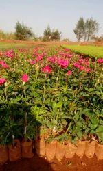 Hot Shwot. Dutch Rose Plants