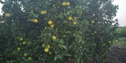 Mosambi/sweet lemon