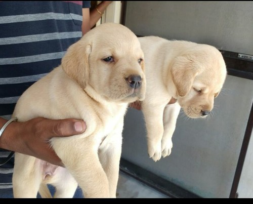 Labour Dog Puppies Price