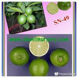 Seedless Lime Plant