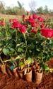 Top Secret (taj Mahal) Dutch Rose Plants