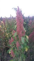 Cultivation Red Quinoa Seeds