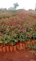 Top Secret / Taj Mahal  Dutch Rose Plants