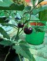 Brinjal Terrace gardening grow bag