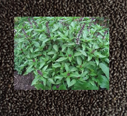 Basil Organic Seed