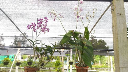 Orchid Flower Plant At Rs 150 Piece Orchids Id 12911629212