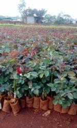 Top Secret Dutch Plants