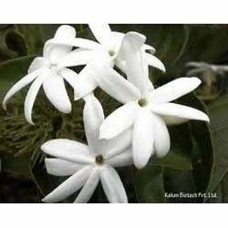 CO2 Jasmine Sambac Extract