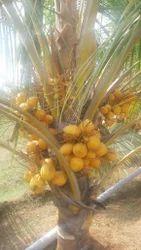 Draft Red Coconut (Kuttai)