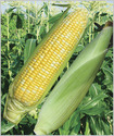 Sweety F-1 Hybrid Sweet Corn Seeds