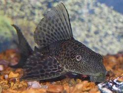 Sucker Catfish