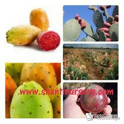 Cactus Fruit Prickly Pears New
