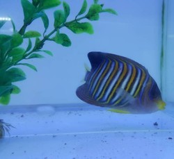 Regal Angel Fish