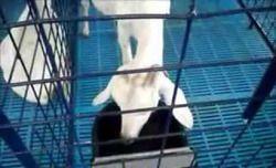 Goat Plastic Tray