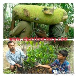 Thai New Jack Fruit Plant