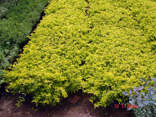 Outdoor Plants Golden Durantha Plant Manufacturer From