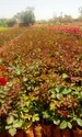 Dutch Rose Plants