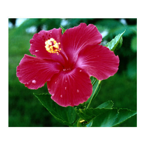 Hibiscus Plant Flower Plants Mehrauli New Delhi Nishu Nursery