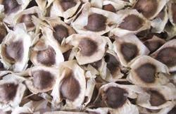 Chi Chum Ngay Moringowate Moringa Seeds