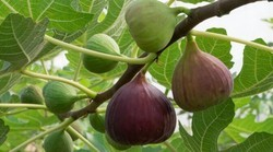 Fig Grafted Plant