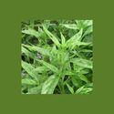 Andrographis Paniculata Leaf
