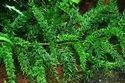 Asparagus Racemosus