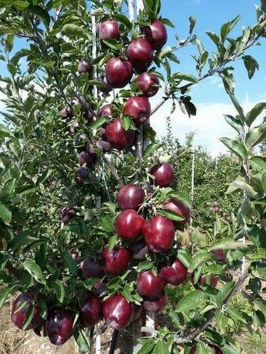 Apple Plants And Clonal Rootstocks - Ambika Apple Nursery
