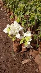 bougainvillea  garden plants