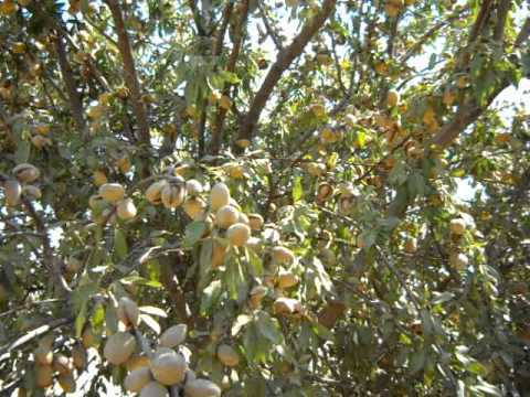 how to grow almond tree from seed in hindi