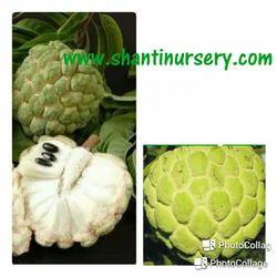 Custard Apple Green Fruit Plant