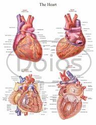 Heart Anatomy Chart