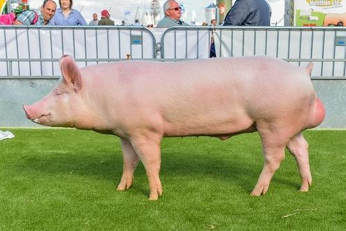 large white yorkshire pig sindhu piggery farms manufacturer in