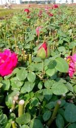 Divine Open Field Rose Plants