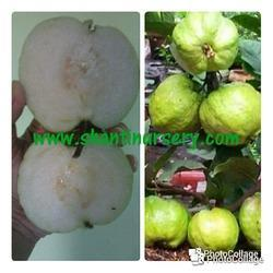 VNR Kg Guava Plant