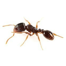 Pavement Ants Control Services