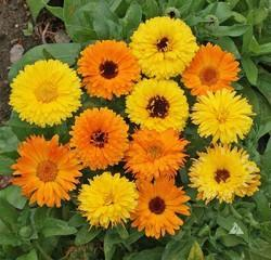 calendula pacific beauty orange yellow mix organic seeds