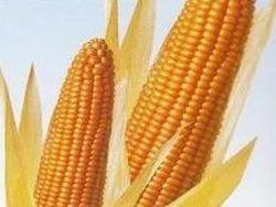 Hybrid Maize RJ 2020
